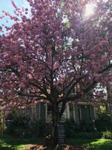 Cherry Blossom Tree at Republican and Federal