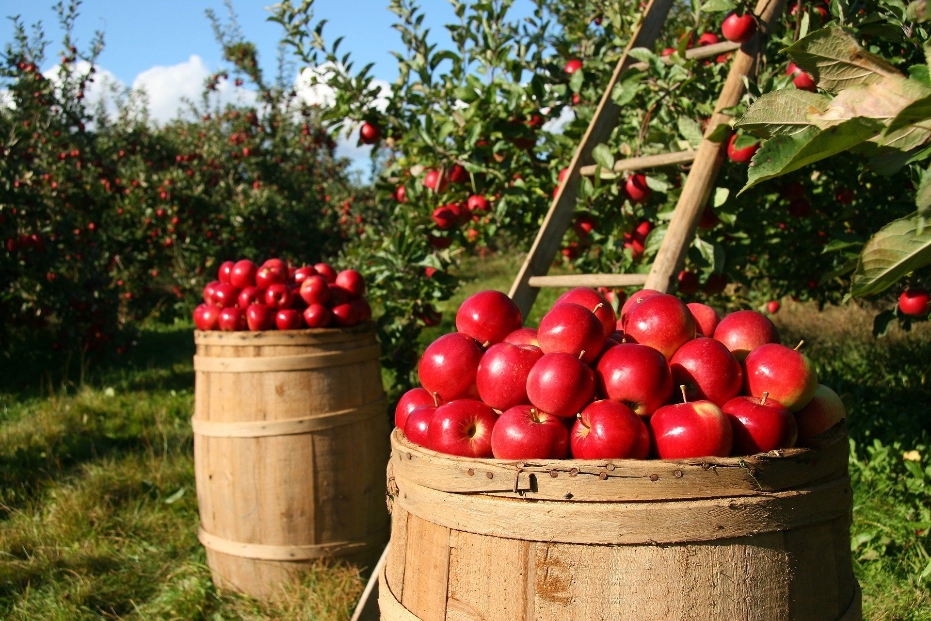 Apple picking in Northern Virginia. Photo of apples on a barrel after being picked in the orchard.