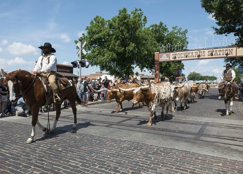 Man on horseback leading longhorns from Fort Worth Stockyards