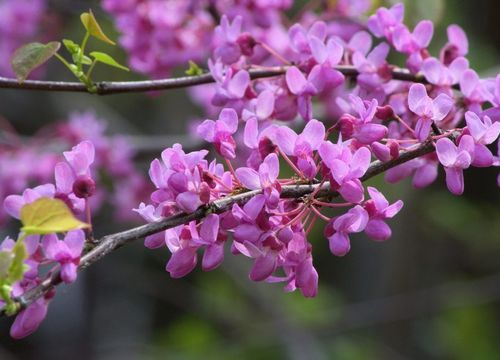 Redbud trees line the center median in McKinney, TX