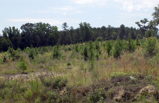 Rock House Road Mt Croghan Chesterfield County South Carolina Hunting Planted Pines Land For Sale (3) – Copy