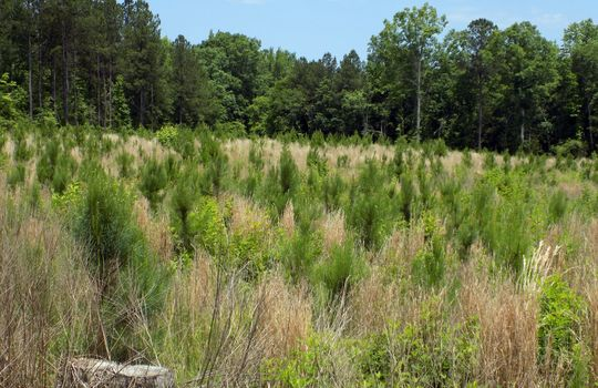 Rock House Road Mt Croghan Chesterfield County South Carolina Hunting Planted Pines Land For Sale (4)