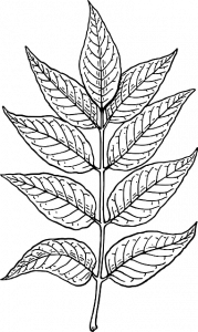 How to identify an ash tree by its leaves