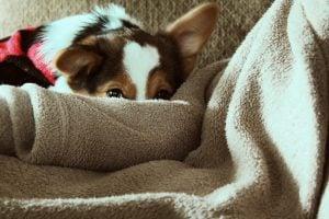 dog hiding behind blanket